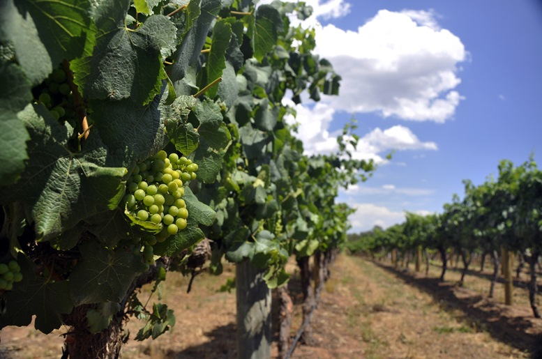 Lines of Chardonnay vines in the Swan Valley