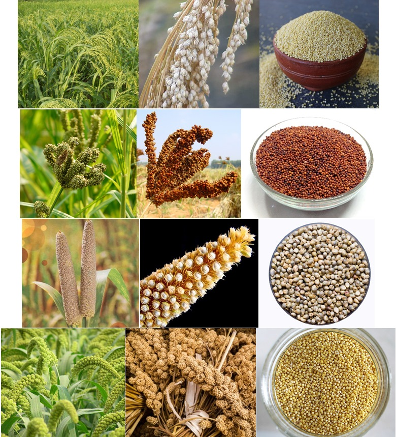 Millets plant and grains (row 1), proso millet (row 2), finger millet (row 3), pearl millet (row 4), foxtail millet.