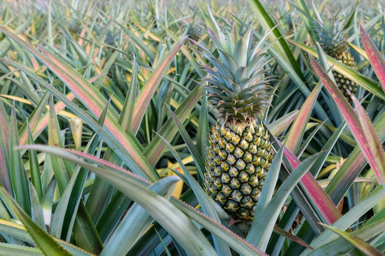 Pineapple Plantation in Philippines