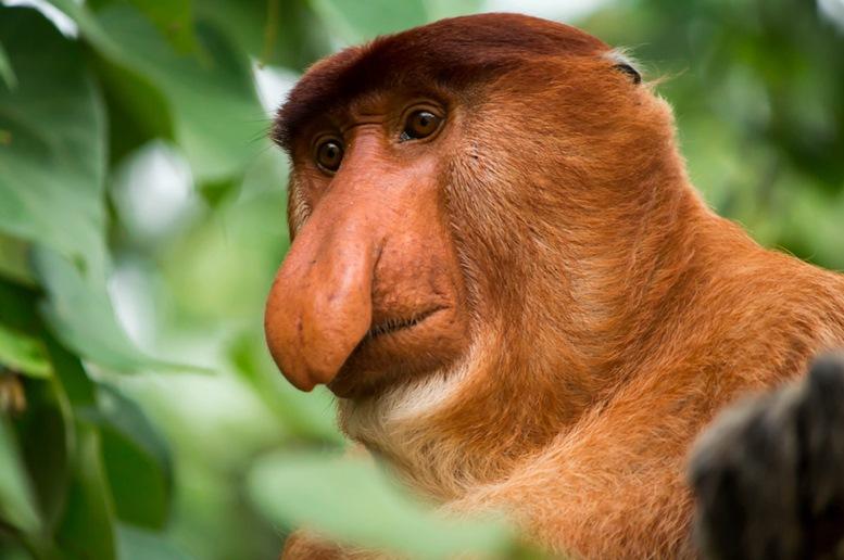 Proboscis Monkey with long nose in Bako National Park