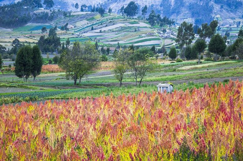 Quinoa fields, Riobamba, Chimborazo, Ecuador