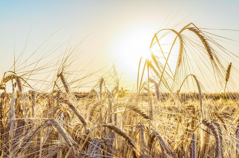 Rye Harvest Field