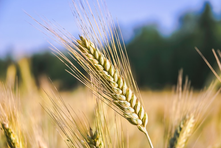 The rye crop or plant (Secale cereale) on the field
