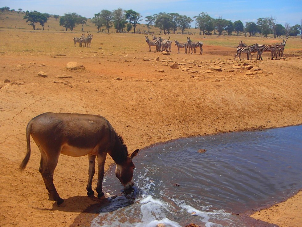 Thirsty animal drinking water from the water hole