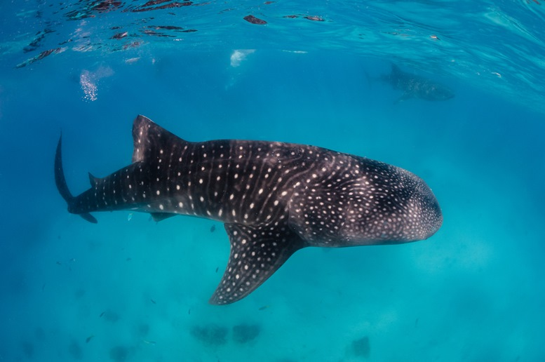 Whale Shark Near the Surface of Donsol