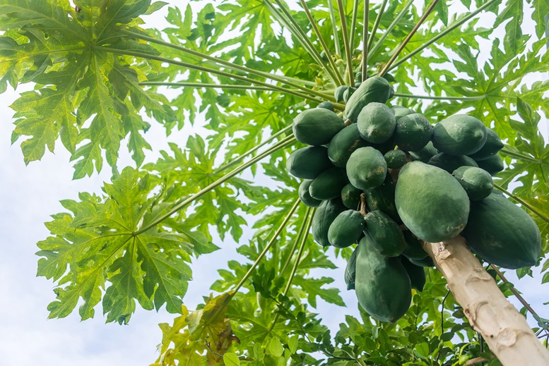 beautiful Papaya Tree