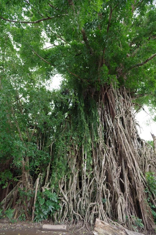 millennium tree in baler, Philippines